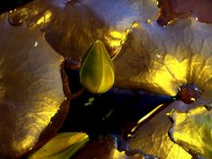 Golden Lotus..