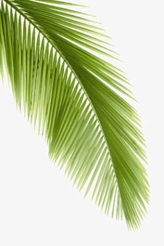 """palm frond (Joh The use of palm fronds by the crowd of people who hailed Jesus as """"the king of Israel"""" (Joh evidently served to symbolize their praise as well as their submission to his regal position. Palm Tree Leaves, Green Leaves, Palm Trees, Plant Leaves, Bamboo Leaves, Tropical Art, Tropical Leaves, Freetime Activities, Affinity Photo"""