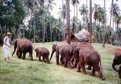 Ceylon Elephants
