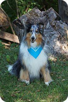 9/30/15 Maryland Heights, MO - Sheltie, Shetland Sheepdog. Meet Shadow, a dog for adoption. http://www.adoptapet.com/pet/13934991-maryland-heights-missouri-sheltie-shetland-sheepdog