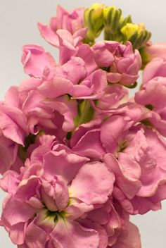 "Stock ""Pacific Pink""~a favorite...if you haven't smelled these, you need too!"