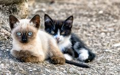 Indir duvar kağıdı Siyam Kedisi, Evcil Hayvanlar, kedi, sevimli hayvanlar, kediler, Siyam