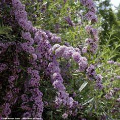 Buddleia alternifolia - Arbre aux papillons