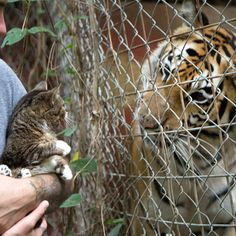 Little Bub meets tiger