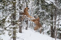 Gela Nde, Sweden: Two endangered Siberian tigers fight over a female tiger. Photograph: Ingo Gerlach/Barcroft Images