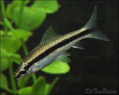 otocynclus tropical fish algae eater