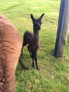 Llama cria at 4 hours old!