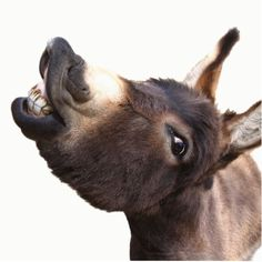 We are located in North Carolina & raise affectionate, friendly Miniature Donkeys. It is also a final stop for a few equines that Donkey Funny, Baby Donkey, Cute Donkey, Mini Donkey, Funny Animal Memes, Funny Animals, Barn Animals, Animal Humor, Donkey Drawing