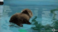 a baby otter's first attempt at swimming and floating.  Otterly adorable