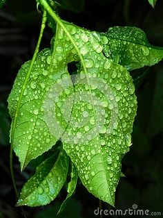 Photo about A close-up view of rain drops on a Granadilla leaf after a rain shower. Image of passionfruit, africa, summer - 141292660