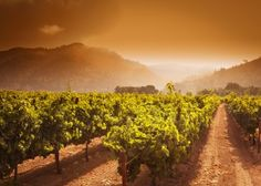 One of the best times of year to visit the Napa Valley is during 'crush,' when grapes are being harvested.