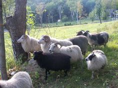 Icelandic sheep.  A triple threat with meat, milk and wool.  Not that I eat meat or drink milk, but I would use the wool and lanolin :)
