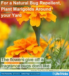 Insects - For a Natural Bug Repellent, Plant Marigolds Around your Yard