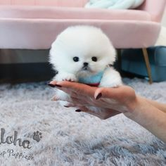 Pomeranian For Sale, White Pomeranian, Teacup Pomeranian, Teacup Puppies, Tea Cups, Twins, Website, Cute, Kawaii
