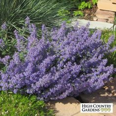 Blue Nepeta faassenii Select Blue Catmint   drought tolerant   easy to grow   attracts bees & butterflies   rabbit & deer resistant   fragrant   LONG BLOOMER