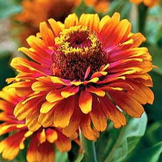 Zinnias are one of the easiest annuals to grow, and attract butterflies to the garden.