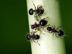 Black #ants