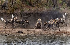 This Hyena Was Cornered By A Pack Of Wild Dogs, But What It Does Next Is Genius - flipopular