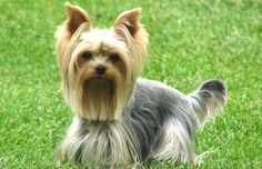 Yorkshire Terrier - a Silkie - Google Image