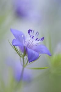 Nigella bucharica, 'Blue Stars' Seeds £1.95 from Chiltern Seeds - Chiltern Seeds Secure Online Seed Catalogue and Shop