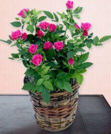 Como Plantar Mini Rosas Container Plants, Container Gardening, Beautiful Flowers Wallpapers, Mini Roses, Flower Wallpaper, Potted Plants, Dahlia, Flower Power, Floral Arrangements
