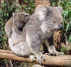 Mother & baby koala