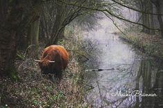Highland Cow/ Schotse hooglander