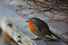 Robins in the home garden, my favourite bird