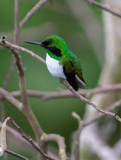 El colibrí hada oriental (Heliothryx auritus)