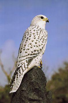 Raroh lovecký (Falco rusticolus) - ChovZvířat.cz