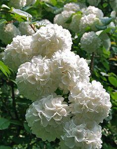 Tree-size Snowball Viburnums: