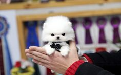 ★Teacup puppy for sale★Teacup puppy for U★   White teacup pomeranian soul :)                 If you are looking for a top quality teacup p...