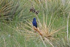 Blue Grosbeak - Boulder, Colorado  ©Steve Frye.  Photo taken during Wild Bird Center of Boulder, CO Saturday Morning Bird Walk.