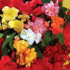 Begonia Sparkle (Trailing) 100 Plants + 60 FREE Fabulous colours and perfect for your hanging basketsBegonia Sparkle has a fantastic array of colours, and is perfect for cascading over the sides of your hanging baskets. Large Plants, Begonia, Hanging Baskets, Floral Wreath, Sparkle, Colours, Wreaths, Rose, Garden