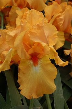 Iris 'Avalon Sunset'