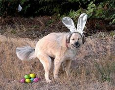 Funny Easter dog - Funny Picture - This is so not right, but funny! Funny Easter Pictures, Funny Animal Pictures, Funny Animals, Crazy Animals, Happy Animals, Adorable Animals, Best Dog Breeds, Best Dogs, Funny Dogs