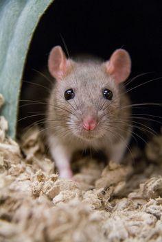 Ratfink (1 Photo) by HollyBerry255