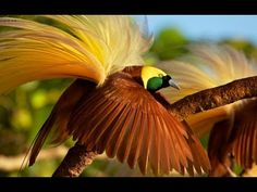 Birds of Paradise video, click on the photo.     Explore more at http://www.birdsofparadiseproject.org  Enter the rainforest canopy of the Aru Islands to watch the coordinated displays of two male Greater Birds-of-Paradise.  Then see two females take particular interest in the males' bright colors, strange sounds, and contorted poses. Filmed by Tim Laman in September 2010.