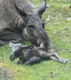 Moose calf  Cute Michigan baby animals, we dare you to look away | Michigan Radio