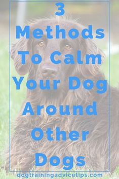 Dog Training Chewing 3 Methods to Calm Your Dog Around Other Dogs. Training Chewing 3 Methods to Calm Your Dog Around Other Dogs. Training Plan, Dog Training Tips, Potty Training, Training Courses, Dog Minding, Easiest Dogs To Train, Dog Training Techniques, Positive Reinforcement, Dog Behavior