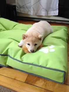 """""""New bed"""" Shiba"""