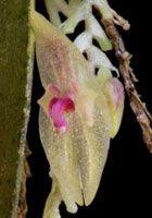 Lepanthes pulchella