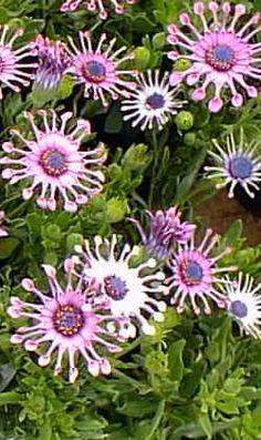 Trailing African Daisy (Osteospermum  fruticosum)