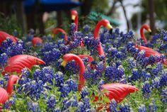 India Ink: Texas Wildflowers: Pink Flamingos