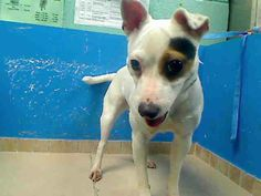 SAFE --- Manhattan Center    SCOUT - A0948468   *** RETURNED ON 6/6/14 *** ORIGINAL INTAKE PHOTO ***   SPAYED FEMALE, WHITE / BLACK, JACK RUSS TERR MIX, 3 yrs  OWNER SUR - ONHOLDHERE, HOLD FOR ID  Reason ATT ANIMAL   Intake condition NONE Intake Date 06/06/2014, From NY 10022, DueOut Date 06/06/2014,  https://www.facebook.com/Urgentdeathrowdogs/photos_stream