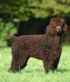 Irish Water Spaniel breed info,Pictures,Characteristics,Hypoallergenic:Yes Best Dogs For Families, All Dogs, Dogs And Puppies, Best Family Dog Breeds, Family Dogs, Spaniel Breeds, Spaniel Dog, Spaniels, Best Hypoallergenic Dogs
