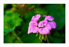 141227-13 Pelargonium Cucullatum. 13x19, 16x24, 20x30, 24x36 - Large Format Fine Art Print, Flower Close-up. Best for Home and Office Wall Art Room Decor. Original Fine Art Photography by P. Matanski. Handmade in our small shop in Cyprus. I personally create, process, print and inspect every photograph. Each one is a high quality fine art photographic print. • Ready to be placed in your favorite frame. • Printed on fine art paper - archival, acid free (matte finish). • Designed to last for…