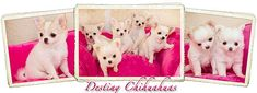 Small hobby breeder of AKC Chihuahuas, bred for good health, temperament, and show quality. Chihuahua Breeders, Chihuahuas, Puppies, Create Website, Small Dogs, Destiny, Life Is Good, Teddy Bear, Animals