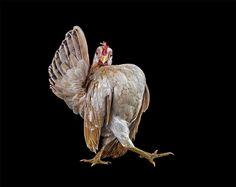 Photographer and visual artist Ernest Goh is known for his work photographing wildlife and other animals. His latest book documents the strange world of chicken beauty pageants in Malaysia where he encountered a breed of bird called the Ayam Seramas, an ornate chicken raised not for it