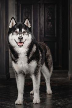 Husky dog in a black interior Alaskan Husky, Siberian Husky Dog, Alaskan Malamute, Cute Husky, Husky Puppy, Beautiful Wolves, Beautiful Dogs, Cute Dogs Breeds, Dog Breeds